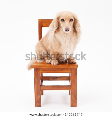 Dachshund sit in a chair - stock photo