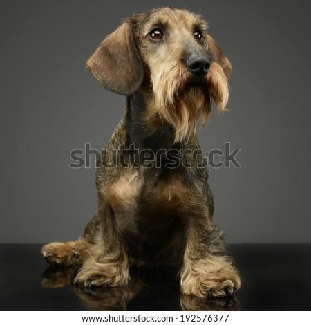 Dachshund sitting in a floor - stock photo