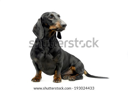 dachshund sitting in white studio floor and looking right - stock photo