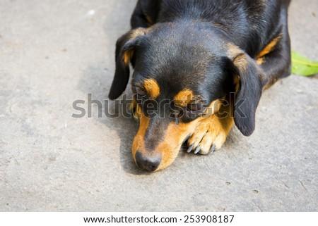 Dachshund small dog resting. - stock photo