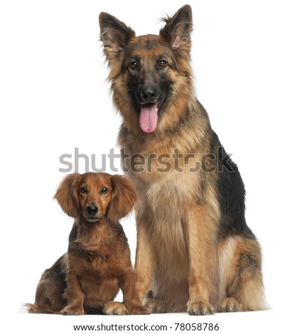 Dachshund, 8 years old, and German Shepherd Dog, 2 and a half years old, sitting in front of white background - stock photo