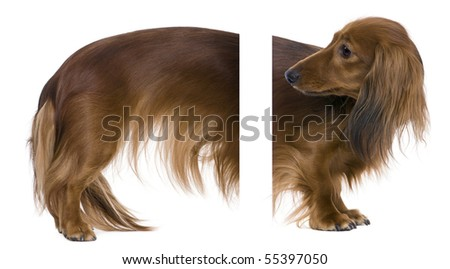Dachshund, 2 years old, easy to integrate in your design. - stock photo