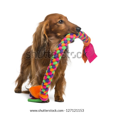 Dachshund, 4 years old, holding a dog toy in its mouth against white background - stock photo