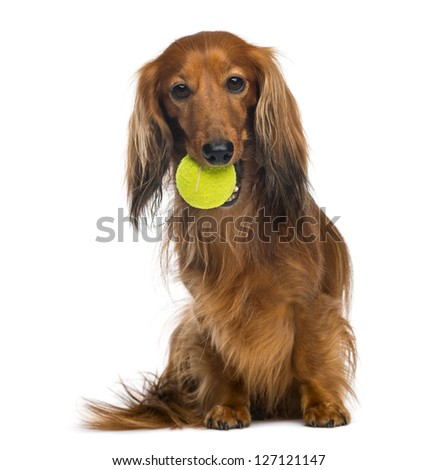 Dachshund, 4 years old, sitting with tennis ball in mouth against white background - stock photo
