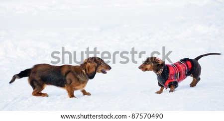 Dachshunds Winter Games - stock photo