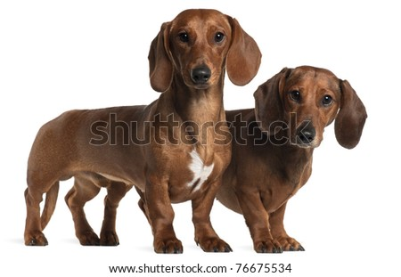 Dachshunds, 4 years old and 7 months old, standing in front of white background - stock photo