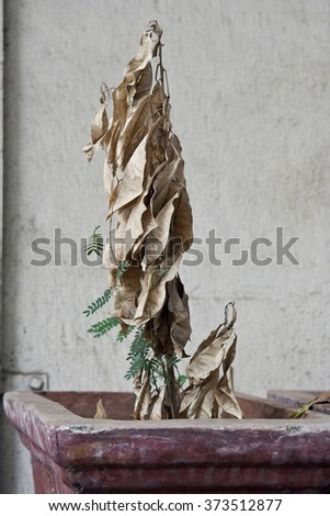 DADAR, MAHARASHTRA / INDIA  PLANT AND DRIED LEAFS IN EARTHEN POT ON STREET IN DADAR, INDIA. - stock photo