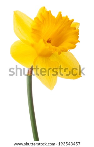 Daffodil flower or narcissus isolated on white background cutout - stock photo