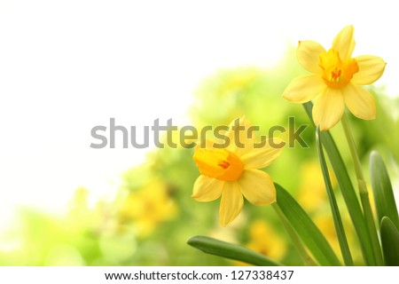 Daffodil flowers in spring - stock photo