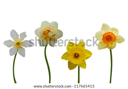 Daffodil flowers isolated on a white background - stock photo