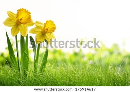 Daffodil flowers on meadow - stock photo