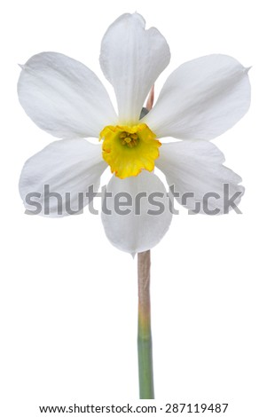Daffodil glacier  isolated on white background.	 - stock photo