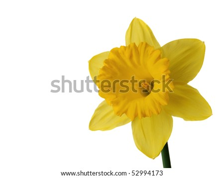 Daffodil isolated on white - stock photo