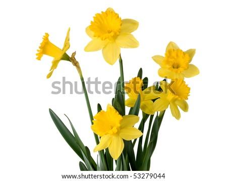 Daffodil plant isolated on white - stock photo