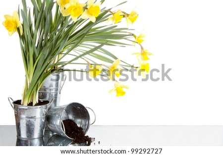 Daffodil still life growing in metal pots, soil spilling from container, isolated on white background - stock photo