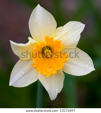 Daffodil with rain droplets - stock photo