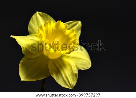 daffodil yellow flower on a black background - stock photo