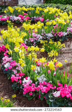 Daffodils and Cyclamen in spring bed. - stock photo