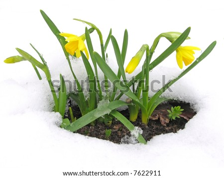 Daffodils blooming through the snow - stock photo