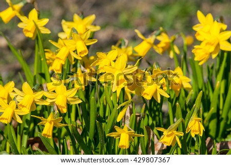 Daffodils flowers in a garden in the early spring - stock photo