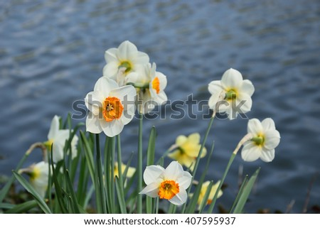 Daffodils. Flowers in the park.  - stock photo