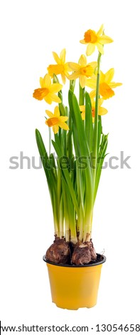 Daffodils grow from bulbs in a flower-pot. In isolation. - stock photo
