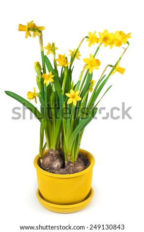 Daffodils grow from bulbs in a flower-pot. In isolation - stock photo