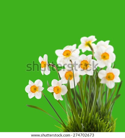 Daffodils growing in green grass. isolated - stock photo