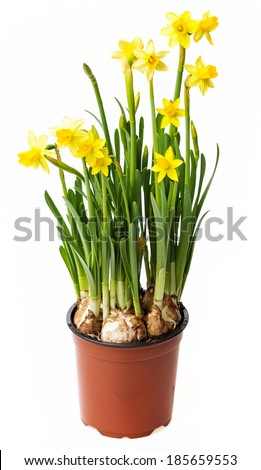 daffodils in a flower pot - stock photo