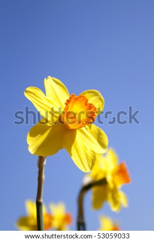 Daffodils in the flower districs of Holland - stock photo