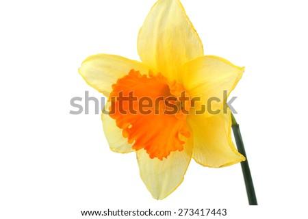 Daffodils isolated - stock photo