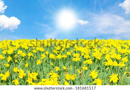 Daffodils on a warm, sunny spring day - stock photo