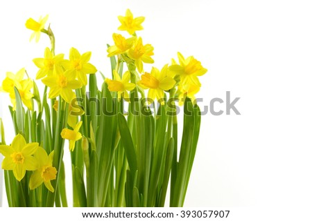 daffodils on white background - stock photo