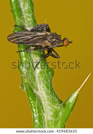 Dagger fly (Empis pennipes) - stock photo