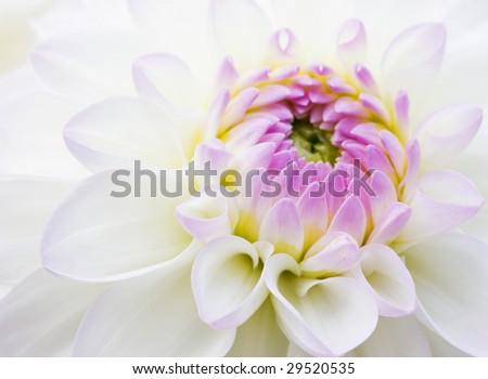 Dahlia close-up background - stock photo
