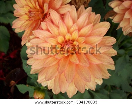 Dahlia Flower - stock photo