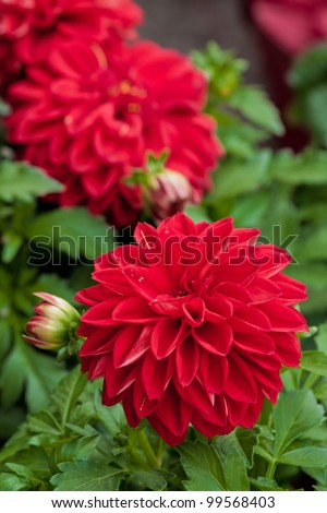 Dahlia flower in green nature - stock photo