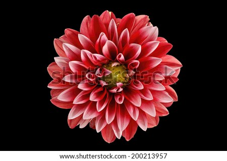 dahlia flower isolated on black - stock photo