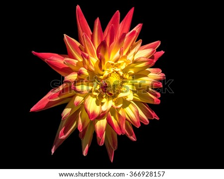 Dahlia flower isolated on black background - stock photo