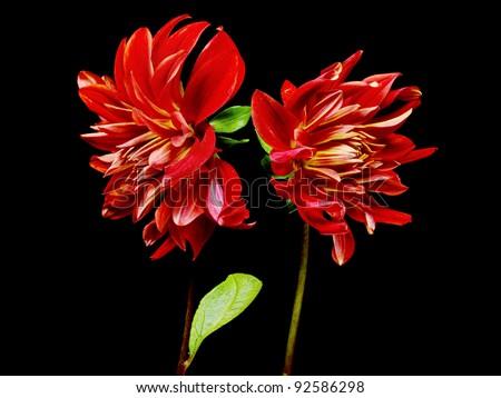 dahlia flower on a black background - stock photo