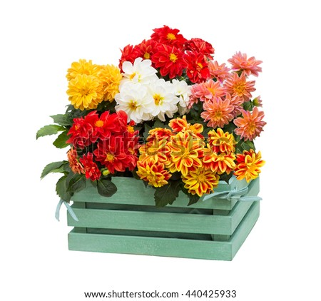 Dahlia Flowers with many blossoms in a green wooden box, for decorating in the shabby chic style. - stock photo