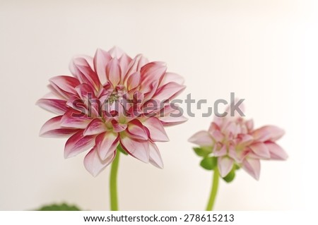 dahlia,  houseplant, blooming, flowerpot, wallpaper, decoration, bud, potted, green, floral, tropical, extraordinary flowers, spring, burgeon, petal, floret, flower, leaf, botanical, summer, blossom, - stock photo