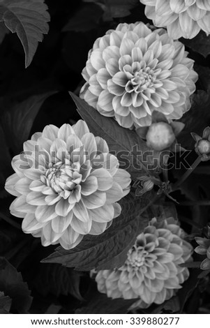 Dahlia in black and white color - stock photo