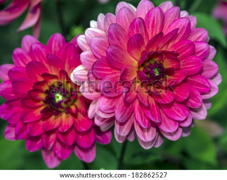 Dahlia is a genus of bushy, tuberous, herbaceous perennial plants native mainly in Mexico, but also Central America, and Colombia - stock photo