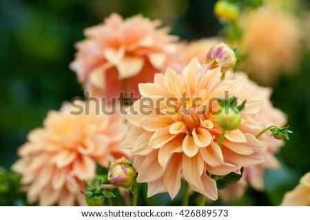 Dahlia orange flowers in garden full bloom closeup - stock photo