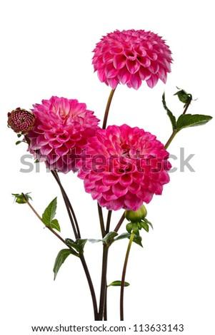 Dahlia. Three pink flowers on a white background - stock photo
