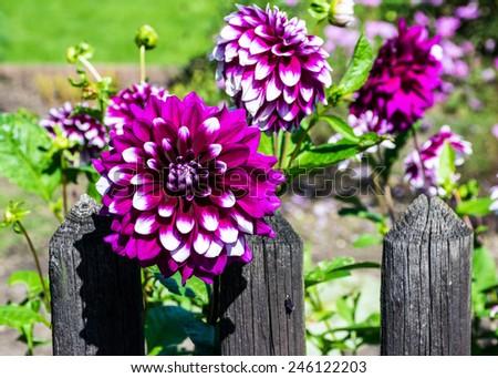 Dahlias at the garden fence - stock photo