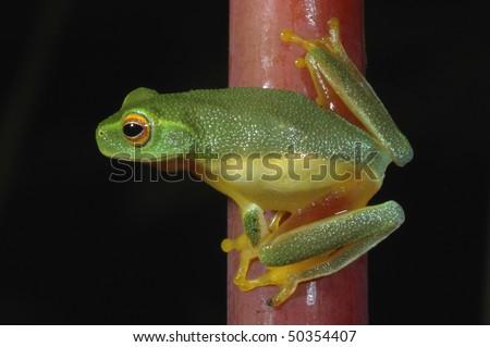 Dainty Green Treefrog in Daintree National Park, Australia - stock photo