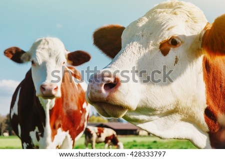Dairy Cow. Cows at summer green field - stock photo