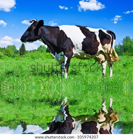 Dairy cows grazing in a field near the river - stock photo